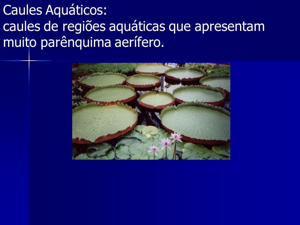 Caules Aquáticos: caules de regiões aquáticas que apresentam muito parênquima aerífero.