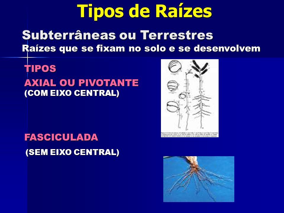 Tipos de Raízes Subterrâneas ou Terrestres