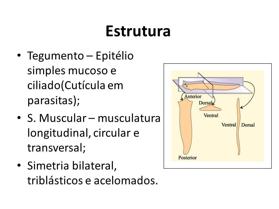Estrutura Tegumento – Epitélio simples mucoso e ciliado(Cutícula em parasitas); S. Muscular – musculatura longitudinal, circular e transversal;