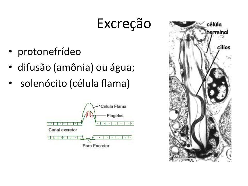 Excreção protonefrídeo difusão (amônia) ou água;