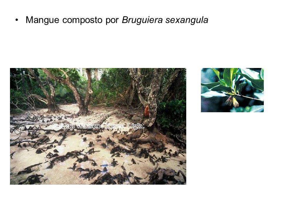 Mangue composto por Bruguiera sexangula