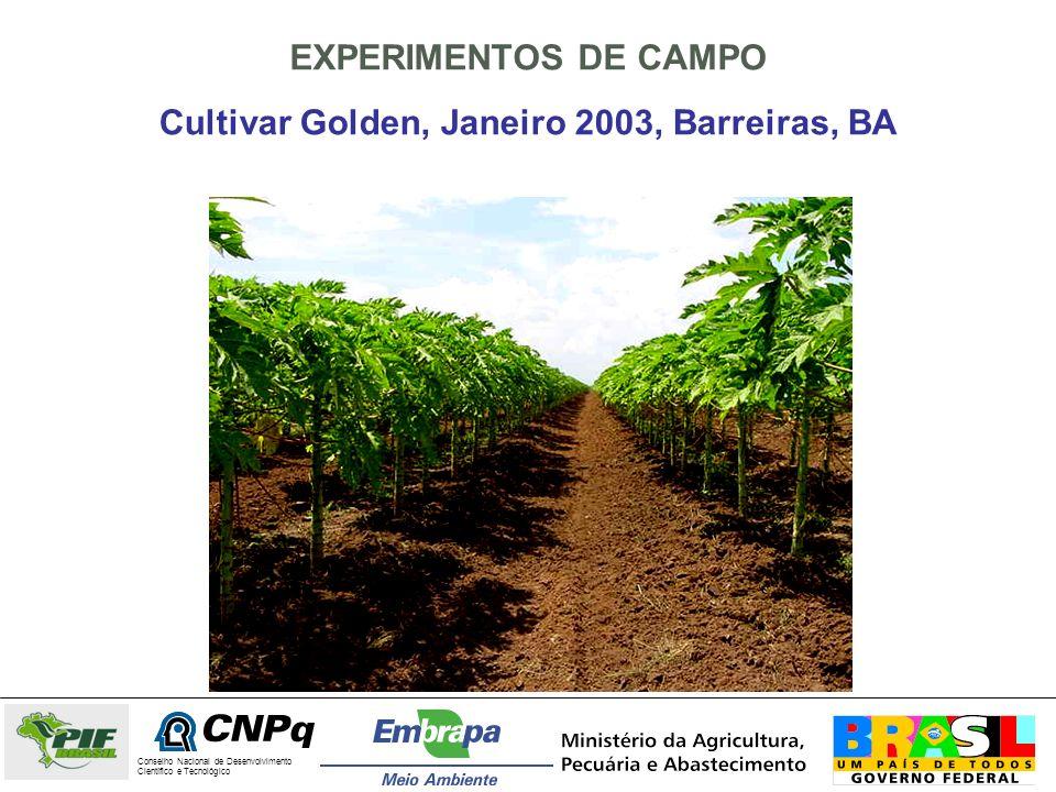 Cultivar Golden, Janeiro 2003, Barreiras, BA
