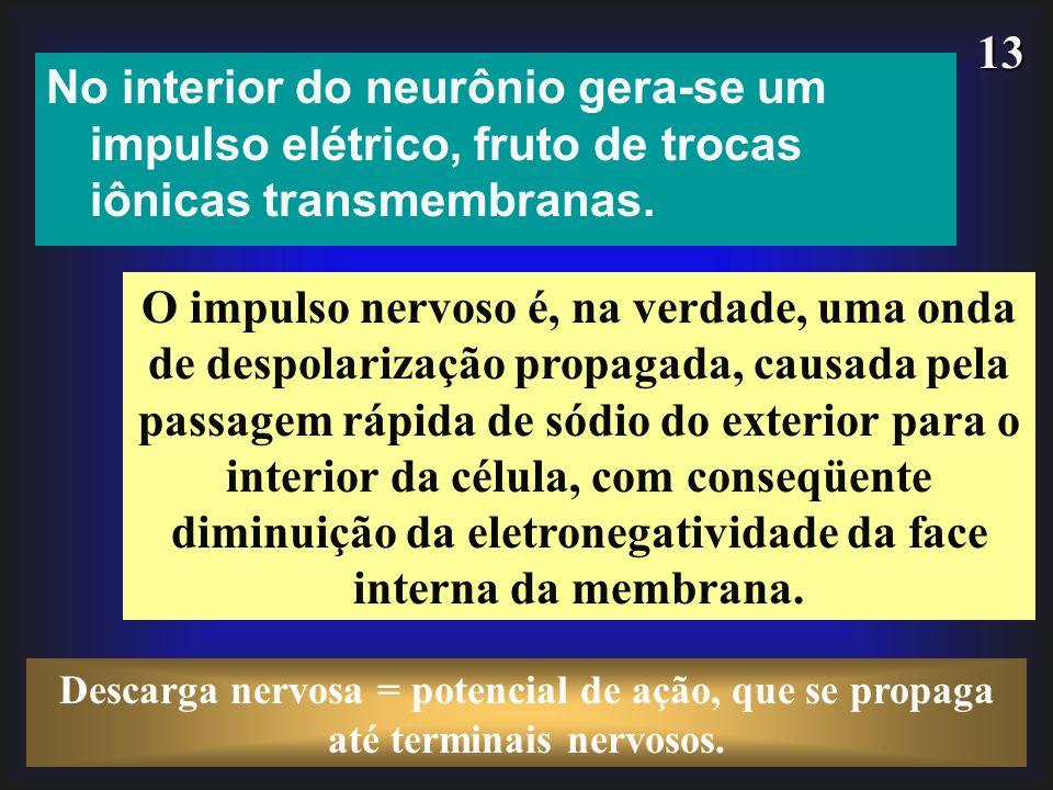 No interior do neurônio gera-se um impulso elétrico, fruto de trocas iônicas transmembranas.