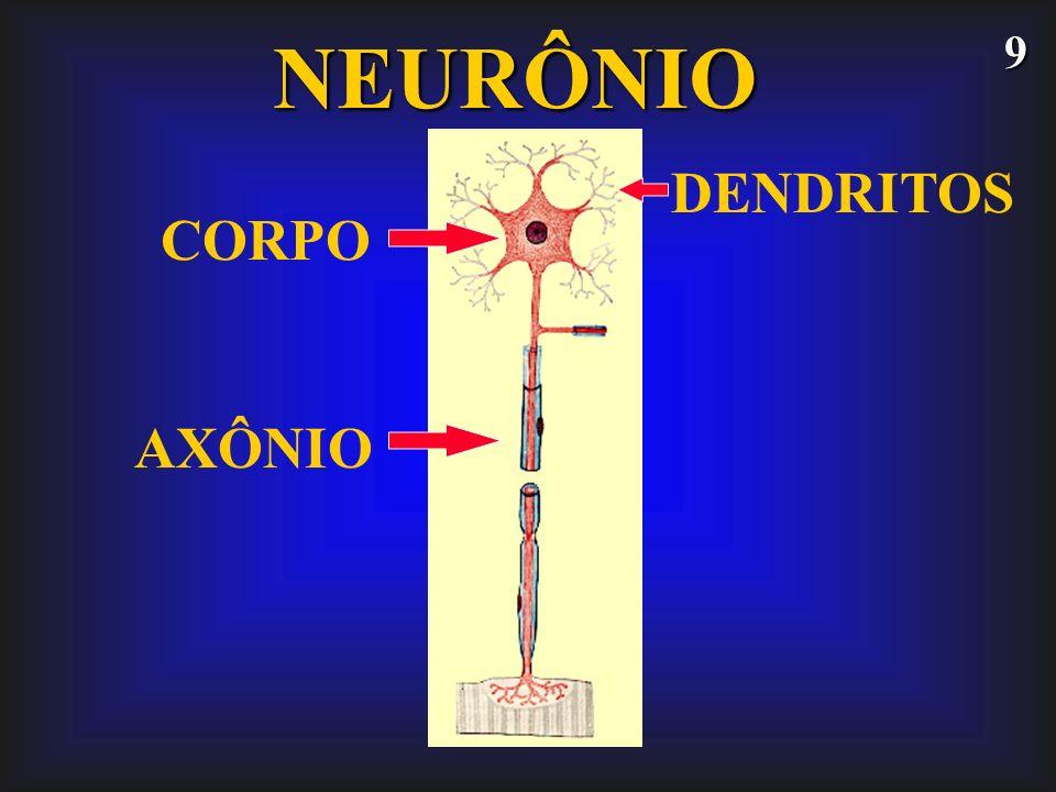 NEURÔNIO DENDRITOS CORPO AXÔNIO