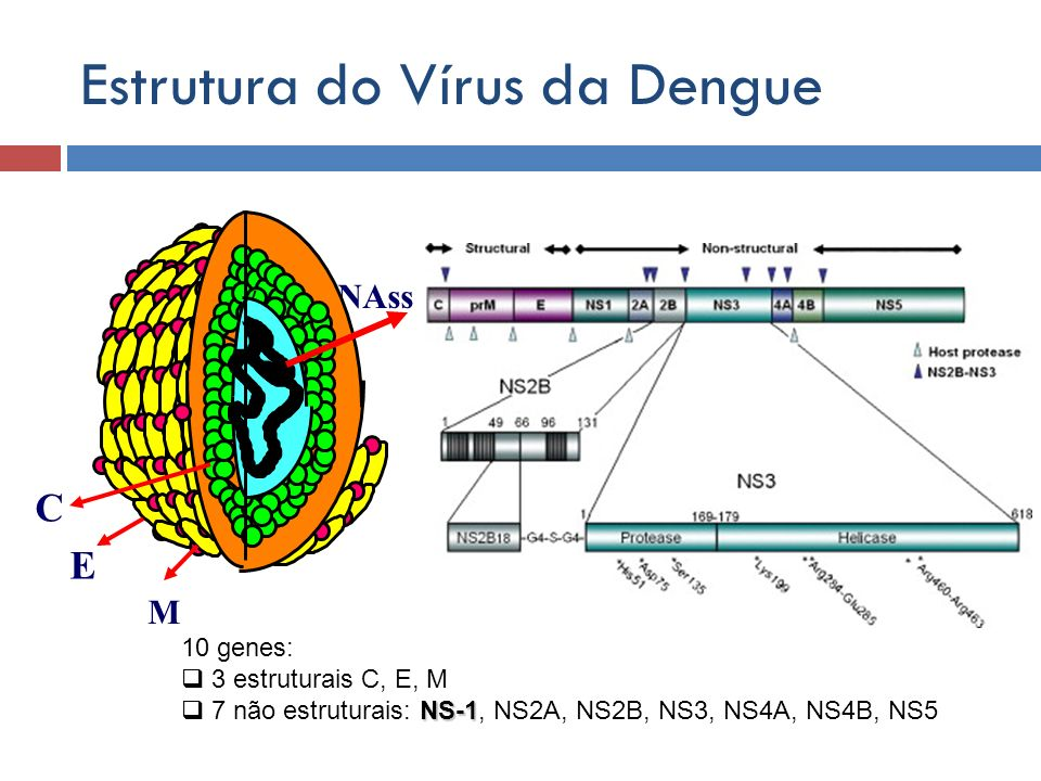 Estrutura do Vírus da Dengue