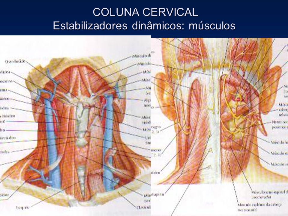 COLUNA CERVICAL Estabilizadores dinâmicos: músculos