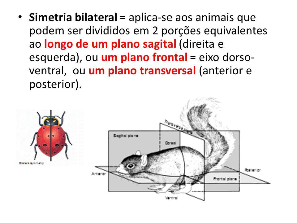 Simetria bilateral = aplica-se aos animais que podem ser divididos em 2 porções equivalentes ao longo de um plano sagital (direita e esquerda), ou um plano frontal = eixo dorso-ventral, ou um plano transversal (anterior e posterior).