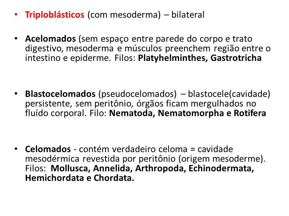Triploblásticos (com mesoderma) – bilateral