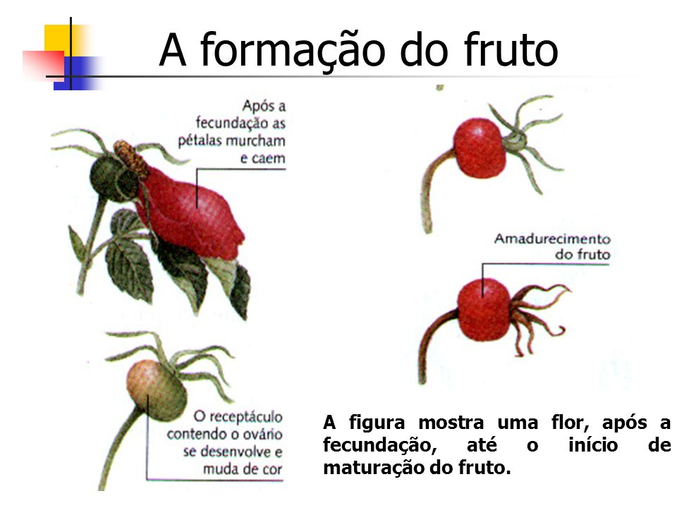 A formação do frutoA figura mostra uma flor, após a fecundação, até o início de maturação do fruto.