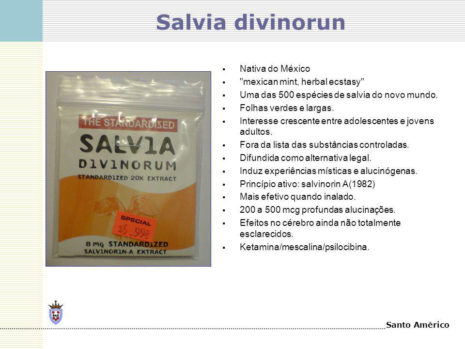 Salvia divinorun Nativa do México mexican mint, herbal ecstasy