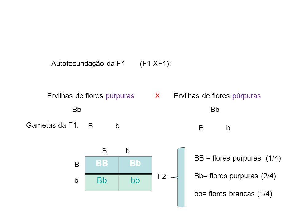 BB Bb bb Autofecundação da F1 (F1 XF1): Ervilhas de flores púrpuras X
