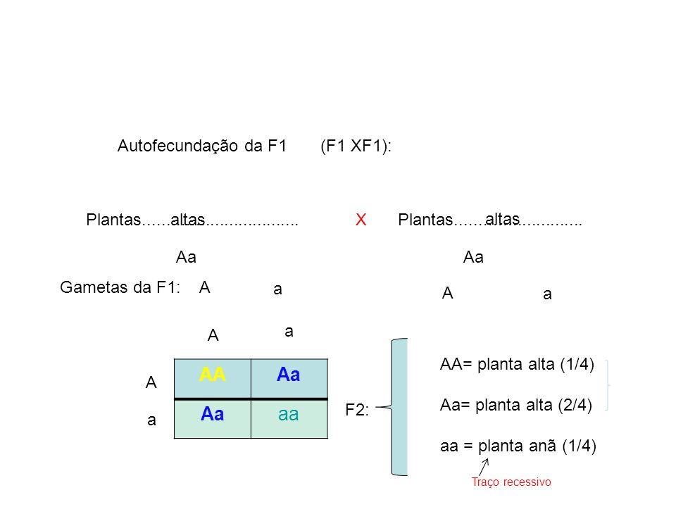 AA Aa aa Autofecundação da F1 (F1 XF1):
