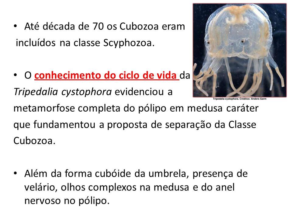 Até década de 70 os Cubozoa eram