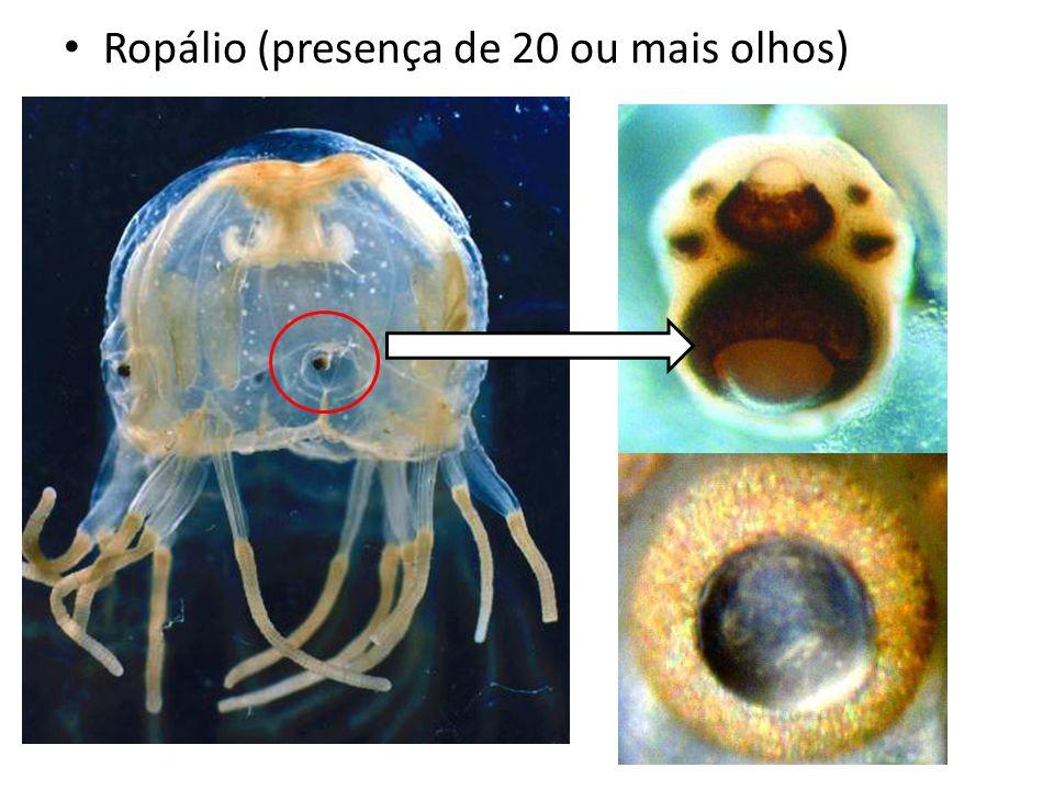 Ropálio (presença de 20 ou mais olhos)