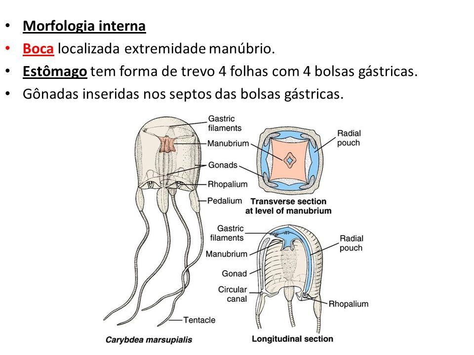 Morfologia internaBoca localizada extremidade manúbrio. Estômago tem forma de trevo 4 folhas com 4 bolsas gástricas.