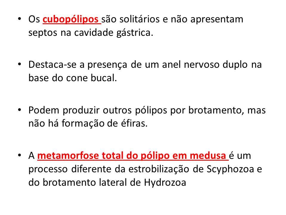 Os cubopólipos são solitários e não apresentam septos na cavidade gástrica.