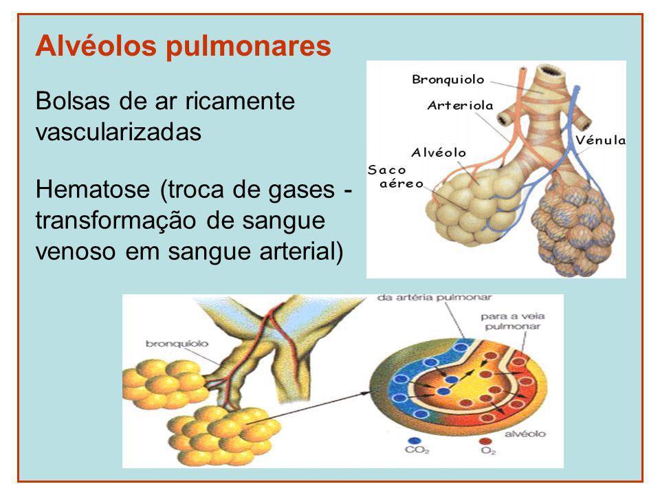 Alvéolos pulmonares Bolsas de ar ricamente vascularizadas