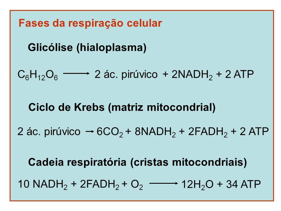 Fases da respiração celular