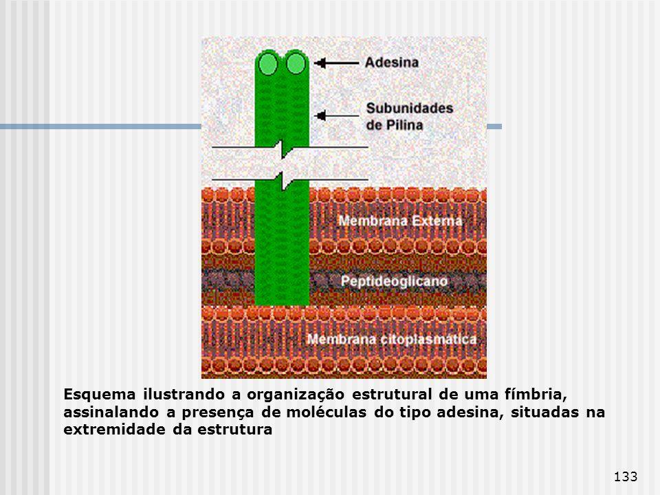 Esquema ilustrando a organização estrutural de uma fímbria, assinalando a presença de moléculas do tipo adesina, situadas na extremidade da estrutura