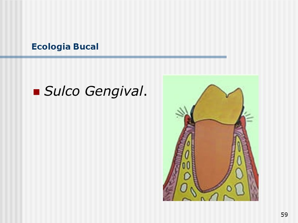 Ecologia Bucal Sulco Gengival.