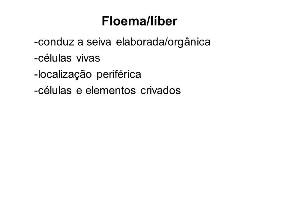 Floema/líber conduz a seiva elaborada/orgânica células vivas