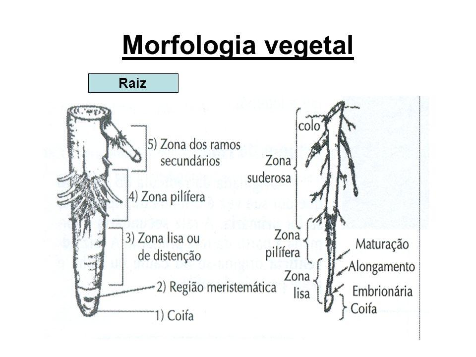 Morfologia vegetal Raiz