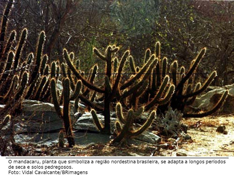 O mandacaru, planta que simboliza a região nordestina brasileira, se adapta a longos períodos de seca e solos pedregosos.