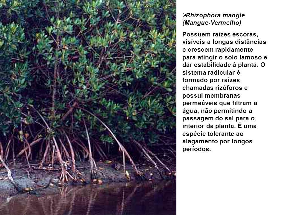 Rhizophora mangle (Mangue-Vermelho)