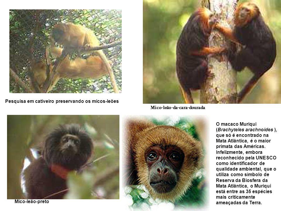 Pesquisa em cativeiro preservando os micos-leões