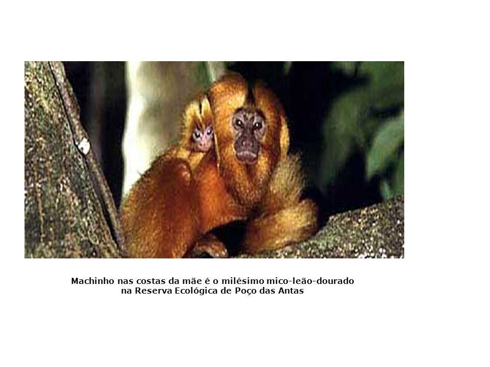 Machinho nas costas da mãe é o milésimo mico-leão-dourado na Reserva Ecológica de Poço das Antas