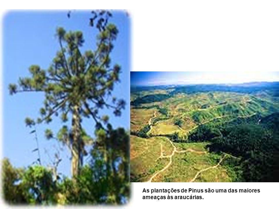 As plantações de Pinus são uma das maiores ameaças às araucárias.