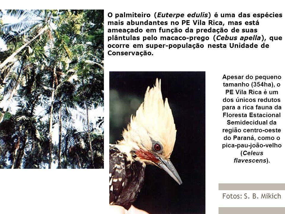 O palmiteiro (Euterpe edulis) é uma das espécies mais abundantes no PE Vila Rica, mas está ameaçado em função da predação de suas plântulas pelo macaco-prego (Cebus apella), que ocorre em super-população nesta Unidade de Conservação.