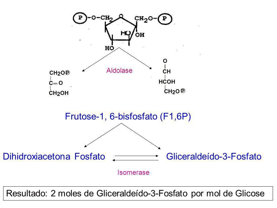Frutose-1, 6-bisfosfato (F1,6P)