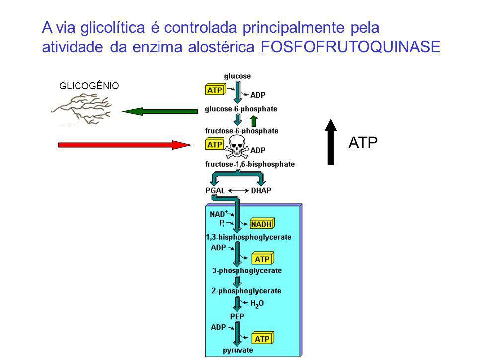 A via glicolítica é controlada principalmente pela atividade da enzima alostérica FOSFOFRUTOQUINASE