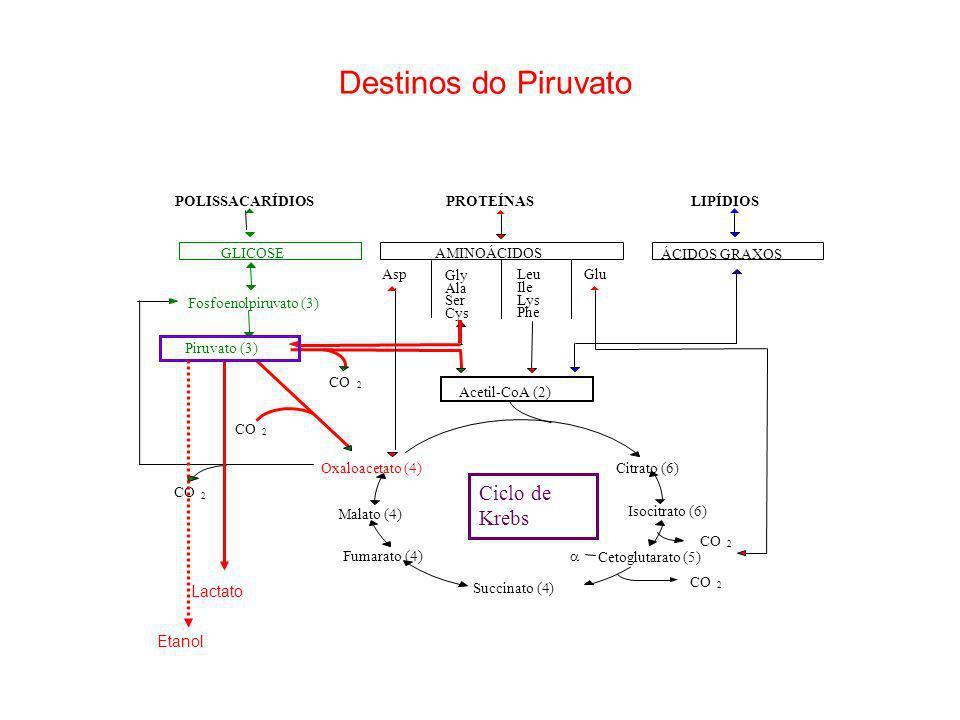 Destinos do Piruvato Ciclo de Krebs Lactato Etanol POLISSACARÍDIOS