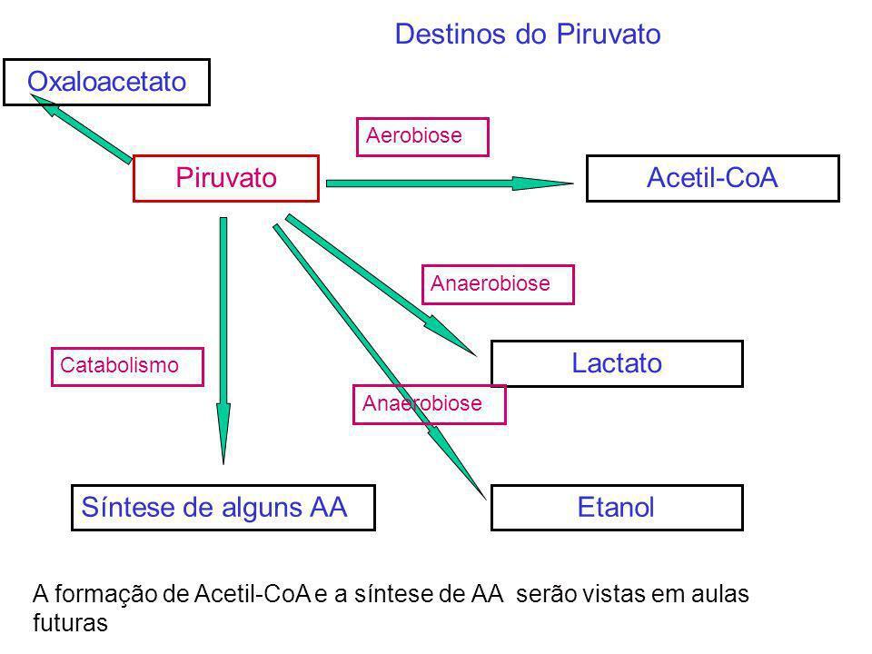 Destinos do Piruvato Oxaloacetato Piruvato Acetil-CoA Lactato