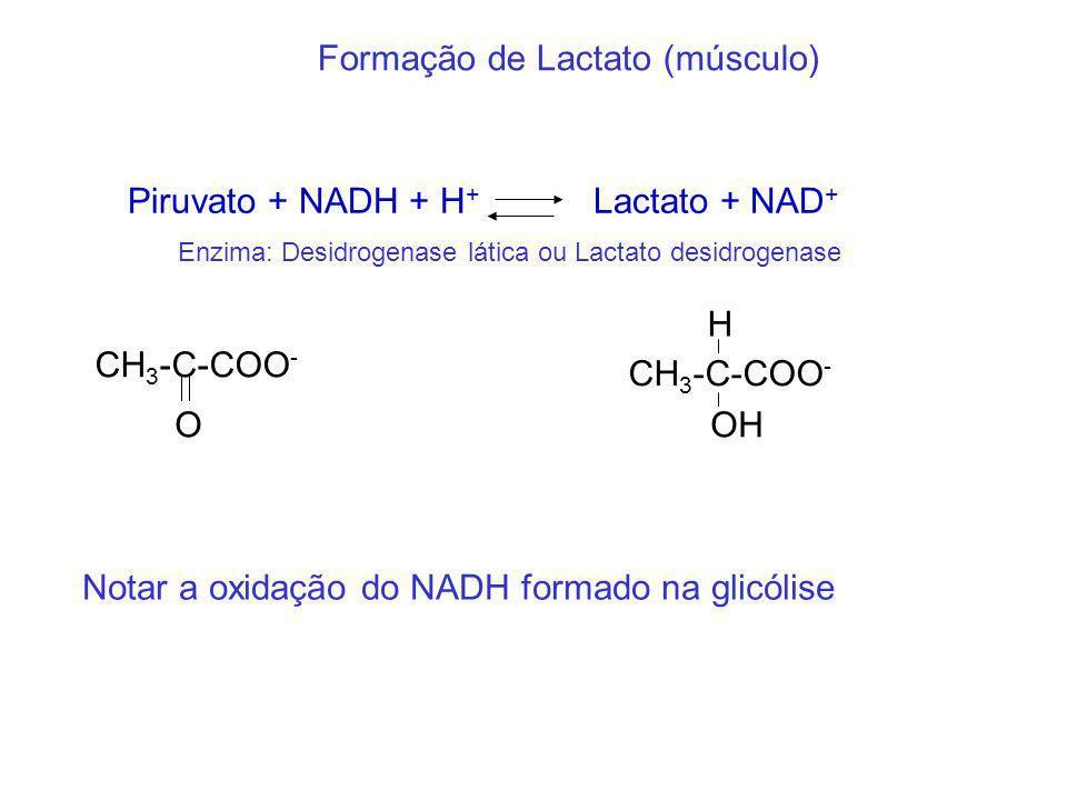 Formação de Lactato (músculo)
