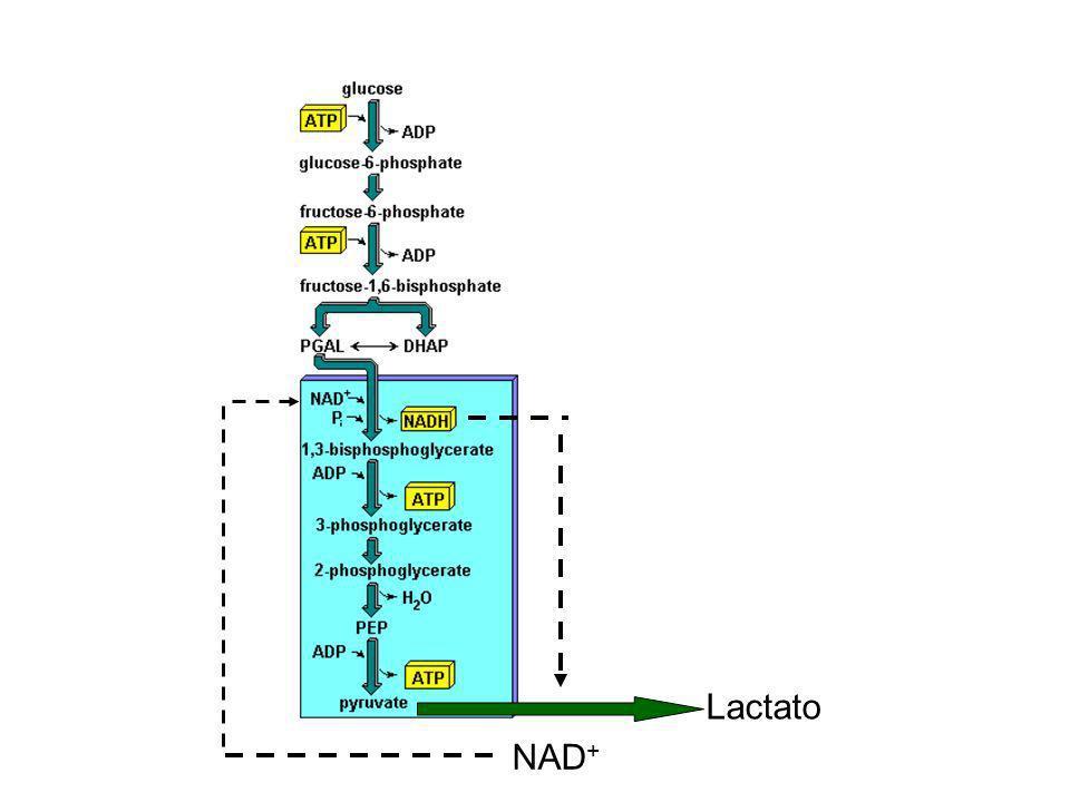 Lactato NAD+