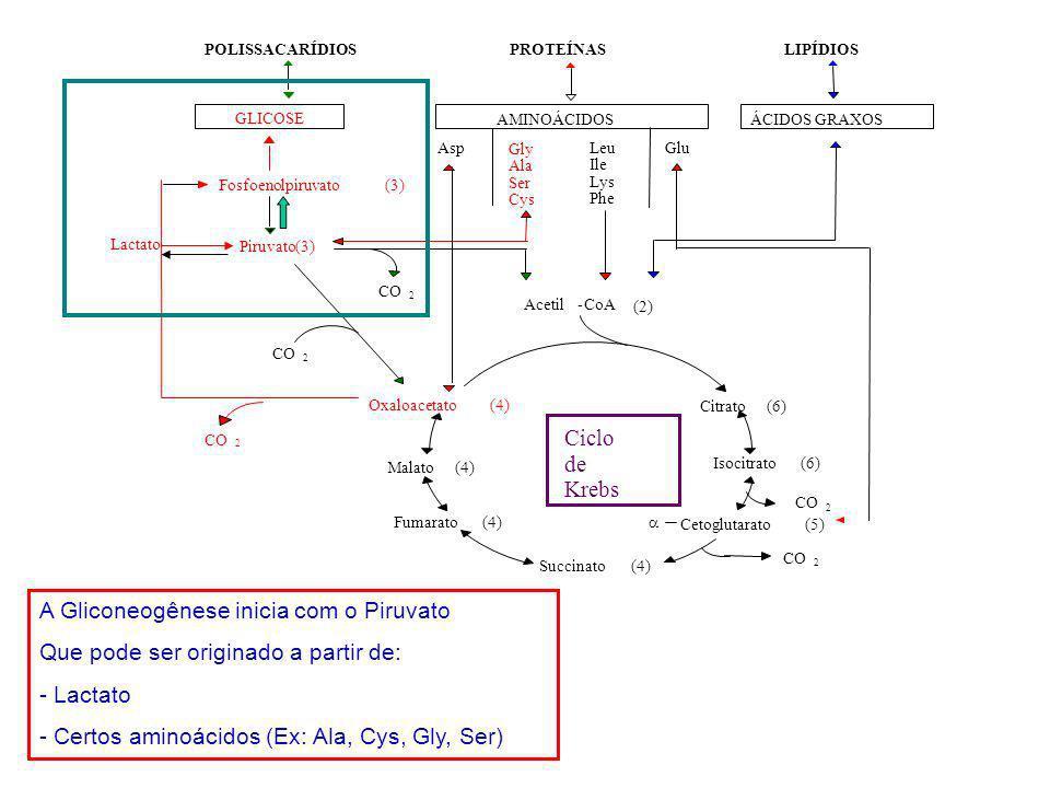 A Gliconeogênese inicia com o Piruvato
