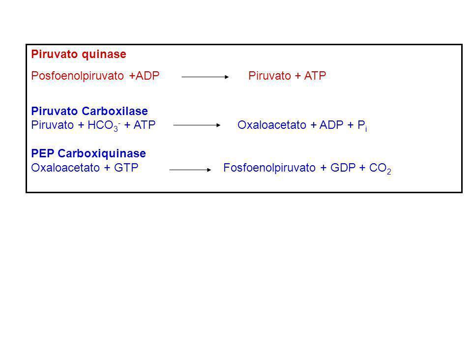 Piruvato quinase Posfoenolpiruvato +ADP Piruvato + ATP. Piruvato Carboxilase.