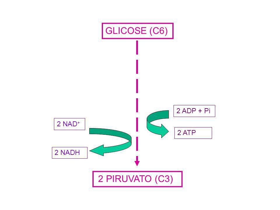 GLICOSE (C6) 2 ATP 2 ADP + Pi 2 NAD+ 2 NADH 2 PIRUVATO (C3)