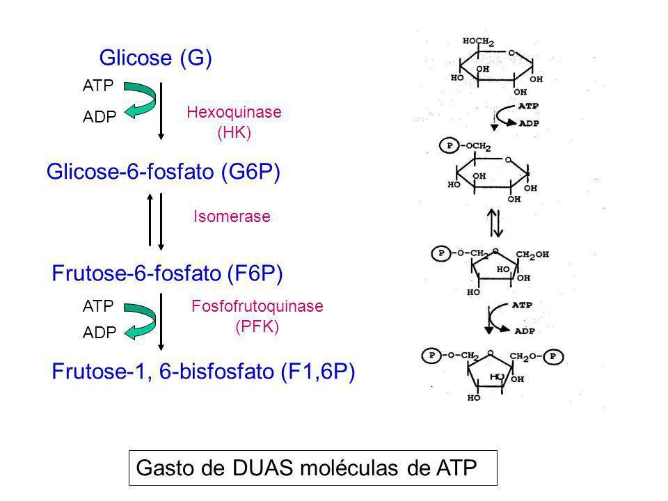 Fosfofrutoquinase (PFK)