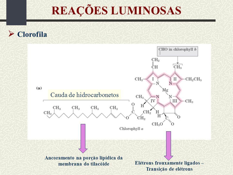 REAÇÕES LUMINOSAS  Clorofila Cauda de hidrocarbonetos