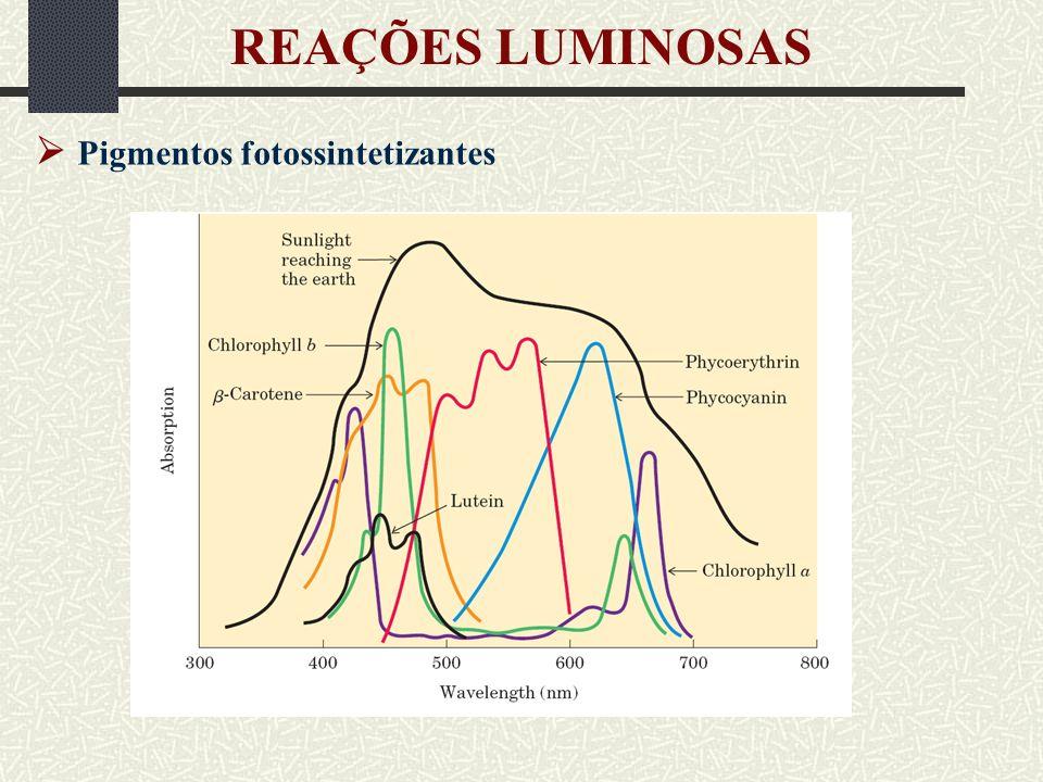 REAÇÕES LUMINOSAS  Pigmentos fotossintetizantes