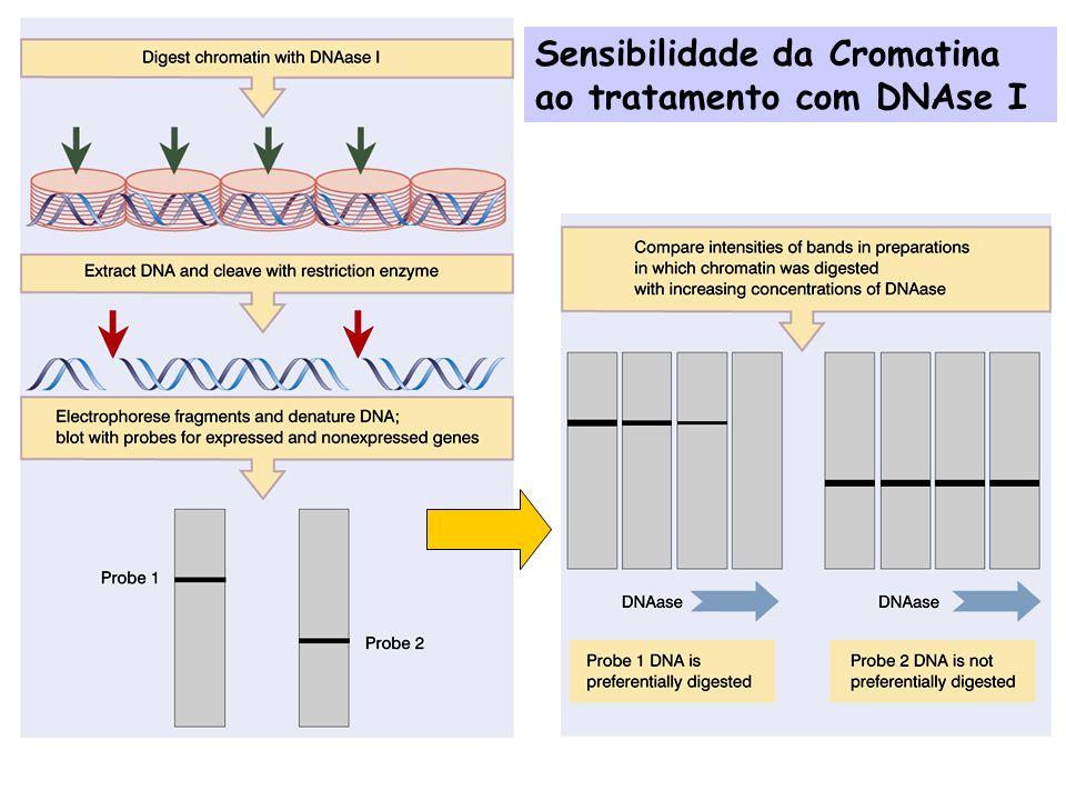 Sensibilidade da Cromatina ao tratamento com DNAse I