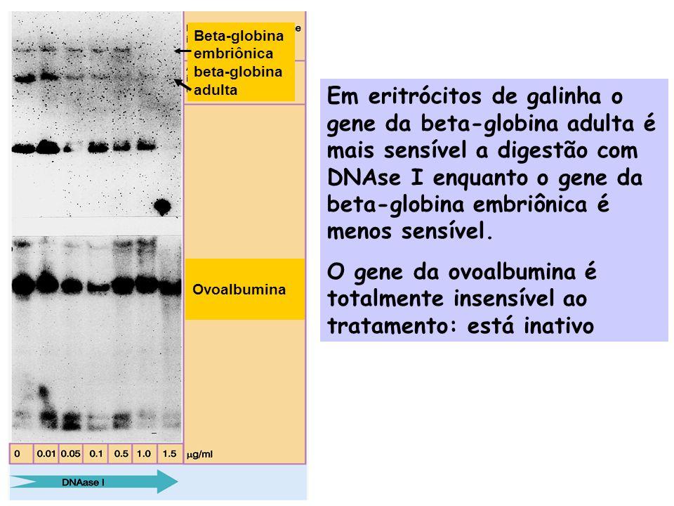 OvoalbuminaBeta-globina embriônica beta-globina adulta.