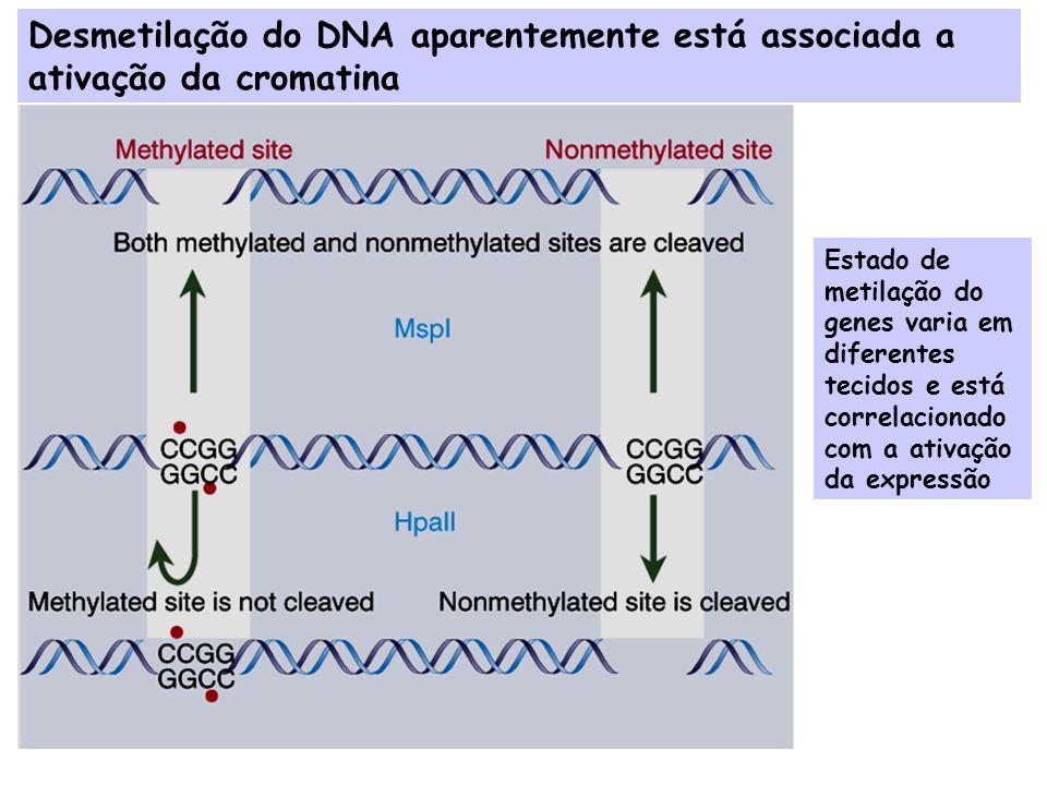 Desmetilação do DNA aparentemente está associada a ativação da cromatina