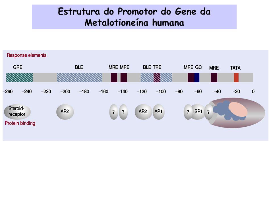 Estrutura do Promotor do Gene da Metalotioneína humana