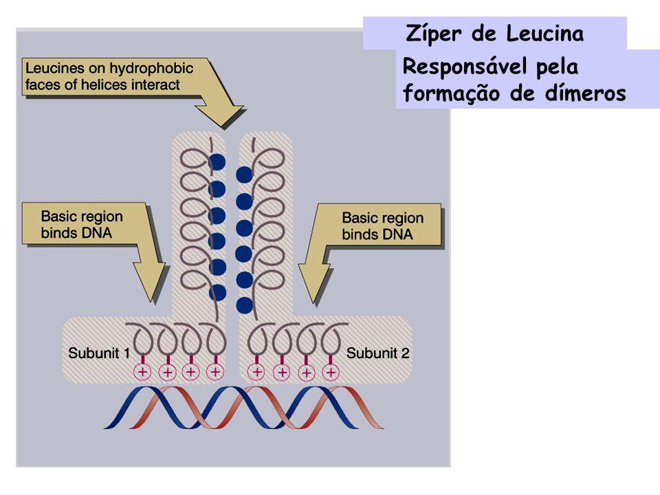 Zíper de Leucina Responsável pela formação de dímeros
