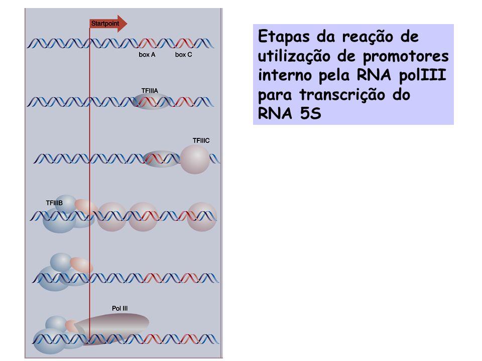 Etapas da reação de utilização de promotores interno pela RNA polIII para transcrição do RNA 5S